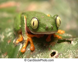 Leaf Frog (Hylomantis hulli) - Closes eyes. In the...