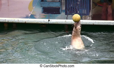 fur seal with ball - Fur seal with ball