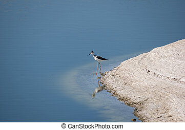 Black-necked Stilt - black-necked stilt wading at the edge...