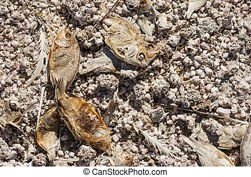 Dead Dried Fish - dead dried fish and barnacles along the...
