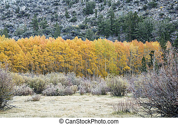 Golden Aspen Trees - grove of golden aspen trees with bright...