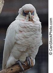 Slender-billed Corella - Cacatua tenuirostris - A perched...