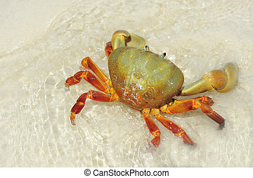 Hairy leg mountain crab on the beach