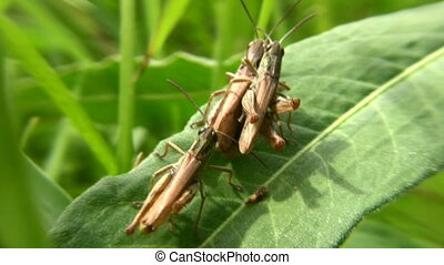 grasshoppers - Grasshoppers