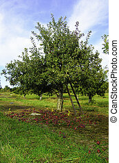 Apple picker - A view of an apple tree in an orchard