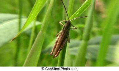 grasshopper - Gasshopper