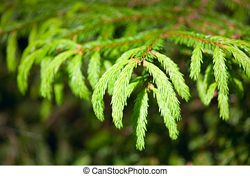 Fir branches - Young green prickly pine branches