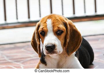 beagle, dog, ,