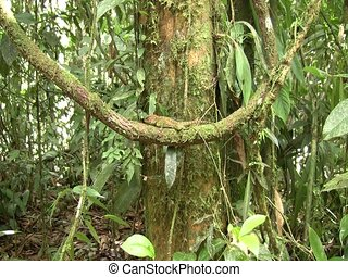 Amazon forest dragon (Enyalioides laticeps) - Zoom in to...