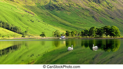 Swans on Buttermere - Swans on Buttermere in the English...