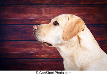 dog - labrador retriever dog