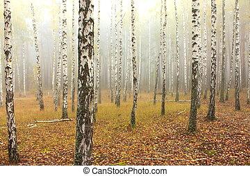 bouleau, forêt,