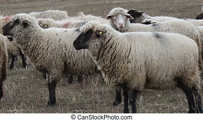 Herd of Sheep - Details of a herd of sheep while grazing in...