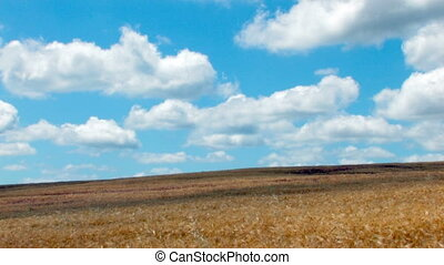 HD wheat field under a blue sky with clouds time lapse
