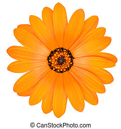 Orange Pot Marigold Flower in Full Bloom Isolated -...