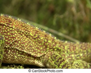 Amazon forest dragon (Enyalioides laticeps) - Pan to head of...