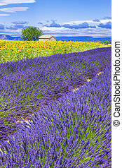 Beautiful landscape with sunflower and lavender field