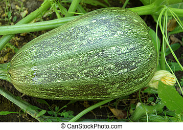 Marrow in vegetable garden with green leaves