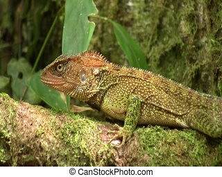 Amazon forest dragon (Enyalioides laticeps) - Resting on a...