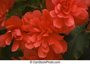 Red begonia - Close up of beautiful red flowers background...