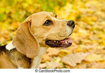 beagle dog in the park outdoors