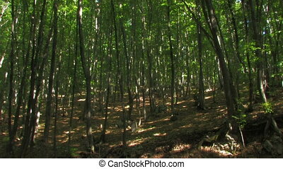 HD forest with high green trees