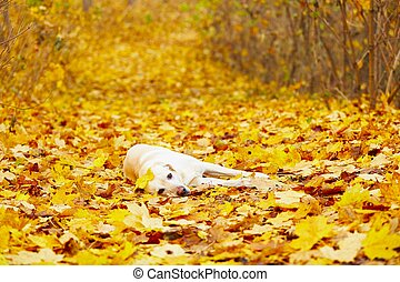 Dog in autumn - Labrador retriever is playing in the leaves...