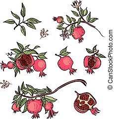 Vector pomegranate isolated background