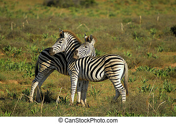 Burchells Zebra - Addo Elephant Park, South Africa....