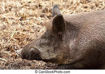 wild boar portrait - photo of a wild boar