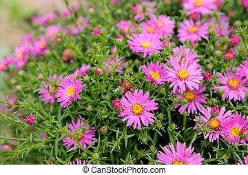 Pink New York Aster Flowers - Blooming pink New York aster...