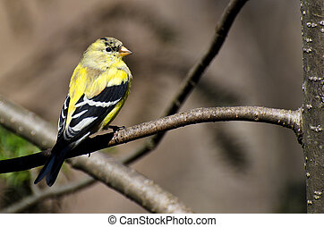 Male Goldfinch Changing to Breeding Plumage