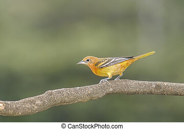 Northern Baltimore Oriole - Baltimore Oriole perched on a...