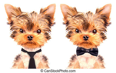 dog wearing a tie - cute puppy dog wearing a tie on white...