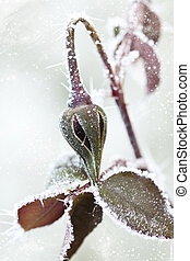 Frozen rose bud with ice crystals - Close up on frozen rose...