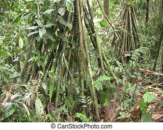 Grove of stilt rooted palms - Stilt roots of palm Iriartea...