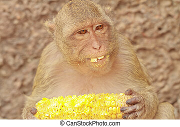 monkey - A monkey is eating the  corn