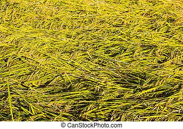 Rice grain background