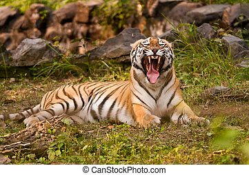 Royal Bengal Tiger growling
