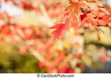 Maple leaf in differential focus, fall leaves.