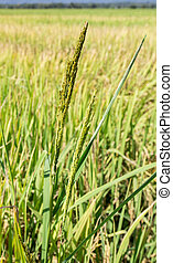 Close up of green paddy rice plant