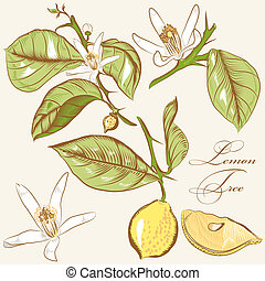 Collection of vector hand drawn lemon tree flowers and...