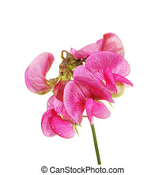Sweet Pea - Sweet pea flower isolated against white