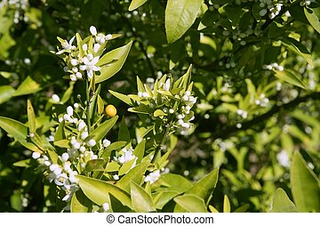 Orange tree flowers during spring