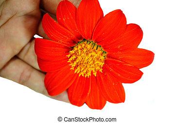 Zinnia - Orange Zinnia