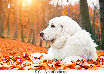 Cute white puppy dog lying in leaves in autumn, fall forest....