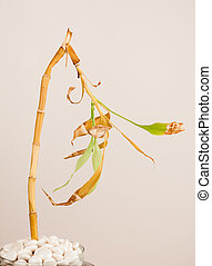 Dying Bamboo Plant - Bent stem and decaying leaves of a...