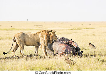 African lion enjoying hippo meat - Male adult African lion...