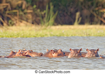 hippopotamuses enjoying fresh water bath - Pod of...