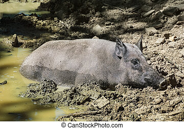 Wild Boar Lying In The Mud